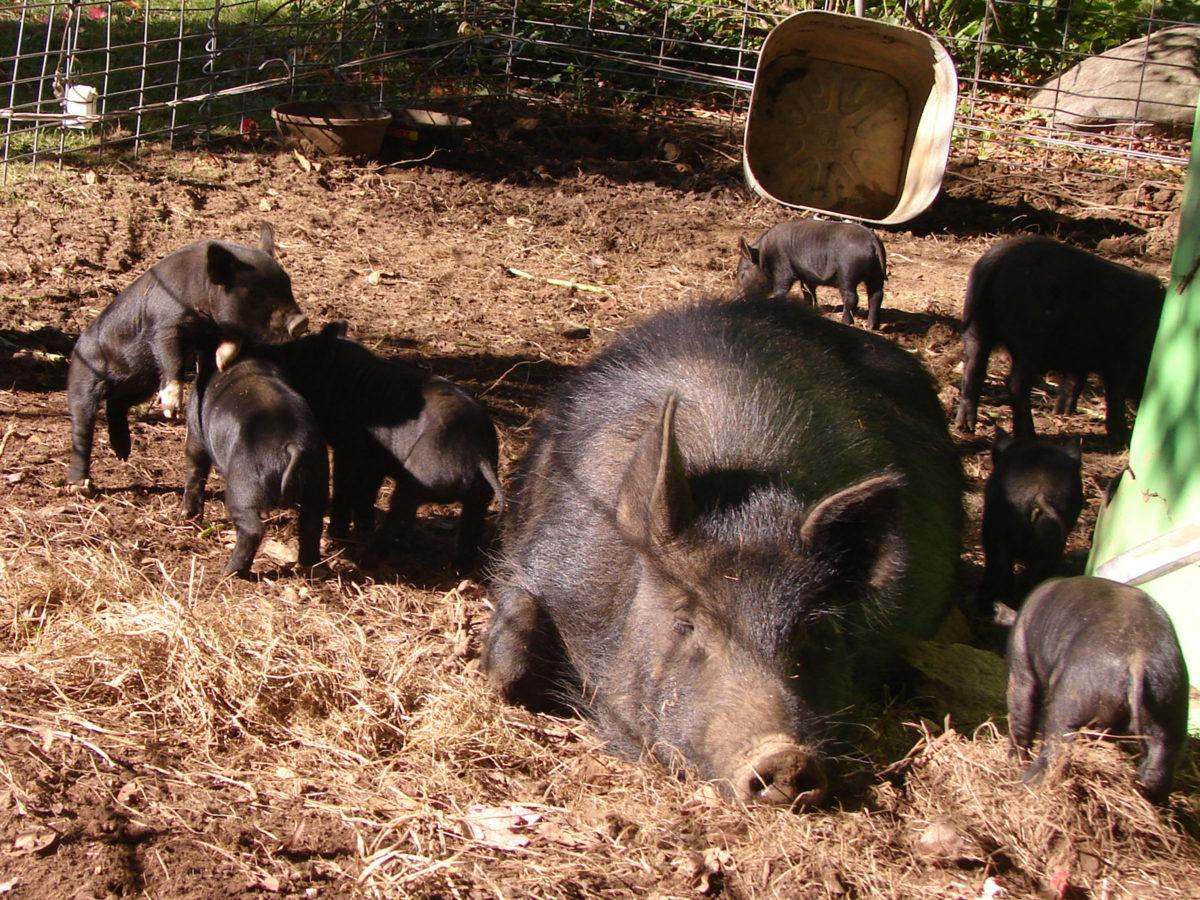 American Guinea Hog Piglets